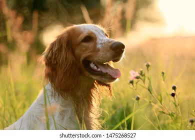 Portrait of a dog breed Russian hunting spaniel in nature in a field in the sunlight