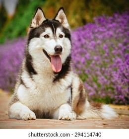 Portrait of a dog breed Siberian Husky. The dog on the background of blooming lavender.