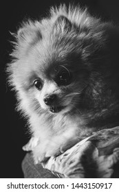 Portrait of a dog of breed Spitz - Pomeranian in black and white