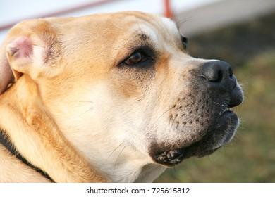 Portrait of a dog - Ca de bou.