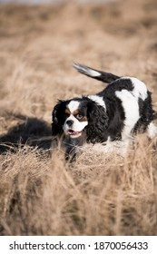 Portrait of a dog cavalier king charles on a grass background