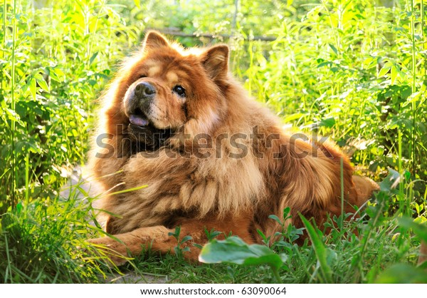 portrait of dog chow-chow on natural background