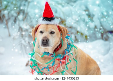 Portrait of a dog entangled in colorful streamer. Dog wearing Santa hat and sitting outdoors in snowy forest in winter