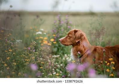 portrait of a dog in the field. Nova Scotia Duck Tolling Retriever. Pet in nature