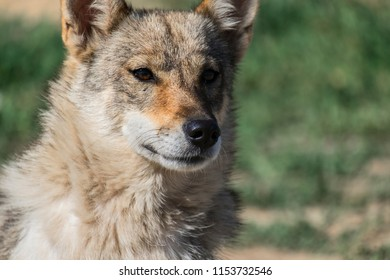 Portrait of a dog from the genus of wolves