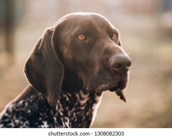 portrait of a dog, German pointer at garden