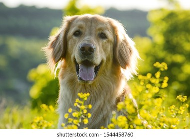 Portrait of a dog hovawart breed in spring flowers. in artistic processing.