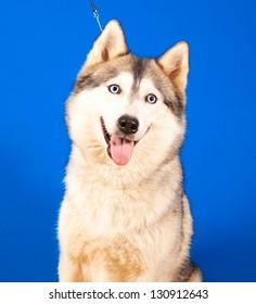portrait dog husky  on a blue background