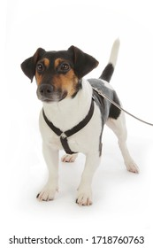 portrait dog Jack Russel terrier purebred male kept on a leash on studio isolated white background