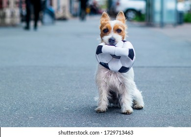 Portrait of a Dog, Jack Russell Terrier holds a soccer ball in his tooth. Homemade, cute pet on the background of the city. Copy Space