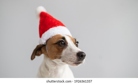 Portrait of a dog jack russell terrier in a santa claus hat on a white background. Christmas greeting card