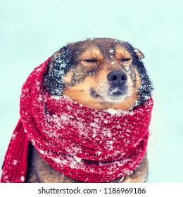 Portrait of a dog with knitted scarf tied around the neck walking in blizzard outdoors