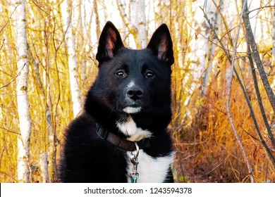 Portrait of dog Laika black in the forest. Eyes Russian-European Laika.
