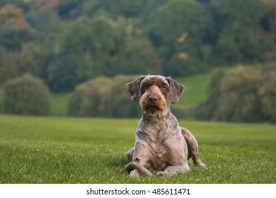 Portrait of a dog laying on a grass guarding a stick, looking at camera