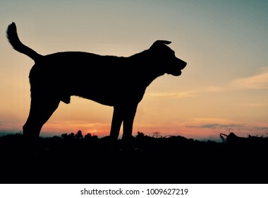 Portrait of dog (male) silhouette is standing and at sunset background (soft focus)