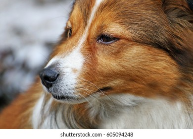 Portrait of a dog. Muzzle dogs with long hair closeup.