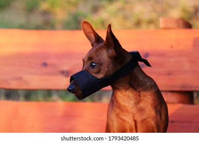 Portrait of a dog in a muzzle in the Park. A muzzled pet looks away on the street. A thoroughbred pet. At close range and from the side.