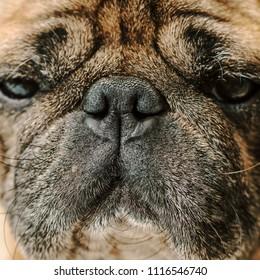 portrait of dog pug breed, muzzle closeup