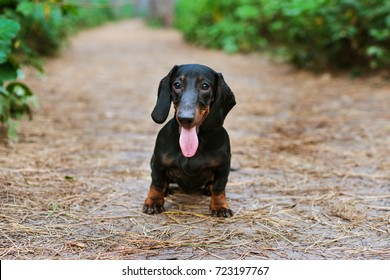 portrait of a dog (puppy) breed dachshund black tan, smile in the green forest