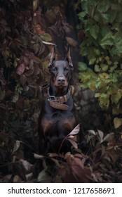 portrait dog purebred red doberman near trees