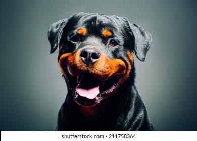 Portrait of a dog - rottweiler