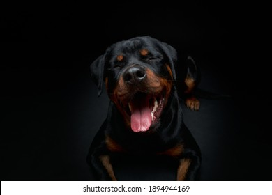 Portrait of a dog. Rottweiler. A smiling dog.
