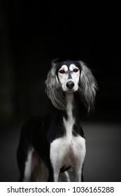 Portrait of dog show champion persian hound, Saluki