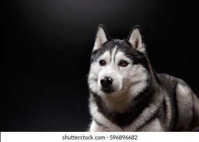 portrait of a dog Siberian Husky in the studio on a black background
