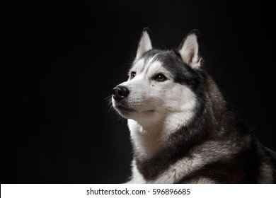 portrait of a dog Siberian Husky in the studio on a black background