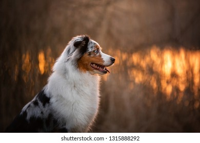 portrait of a dog at sunset. Pet on nature. Australian Shepherd Close Up