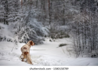 Portrait of a dog in the winter forest. English setter.