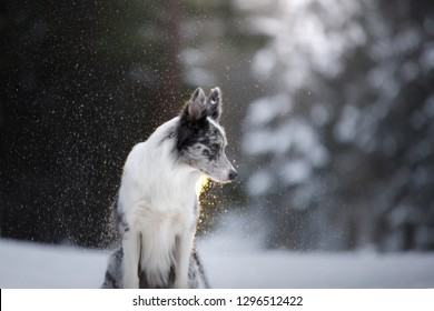 portrait of a dog in the winter in the forest. obedient marble border collie. Walking in nature with a pet