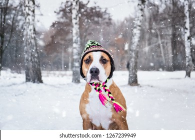 Portrait of a dog in winter knit hat outdoors in snow. Cute staffordshire terrier on a walk at nature park in winter