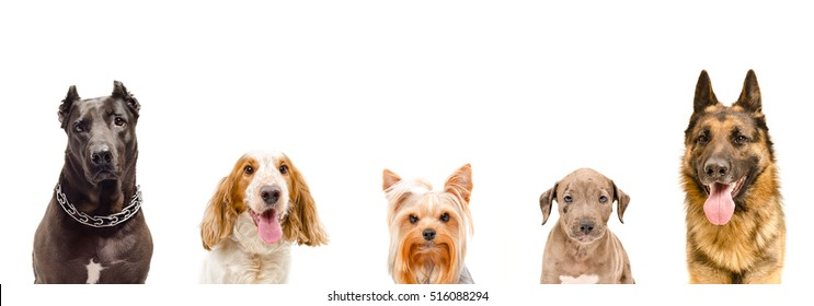 Portrait of dogs, closeup, isolated on white background