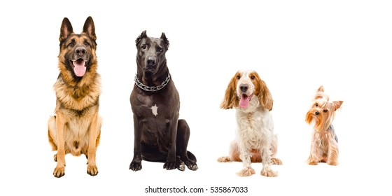 Portrait of dogs sitting together isolated on white background