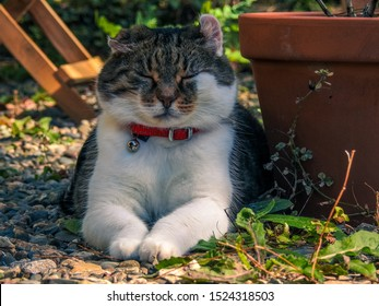 Portrait of a domestic bicolor gray and white tabby cat with cauliflower ears, red collar and silver bell sleeping peacefully in outdoor garden background