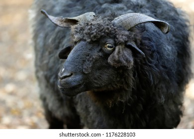 Portrait of domestic black Racka Wallachian Sheep with unusual spiral-shaped horns. Photography of nature and wildlife.