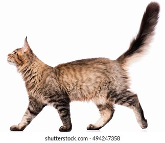 Portrait of domestic black tabby Maine Coon kitten - 5 months old. Cute young cat isolated on white background. Side view of a curious young striped kitty walking.