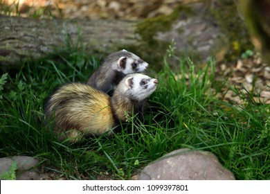Portrait of domestic ferrets in the garden. Photography of nature and wildlife.