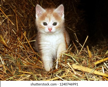 Portrait of domestic ginger kitten sitting on straw in a barn