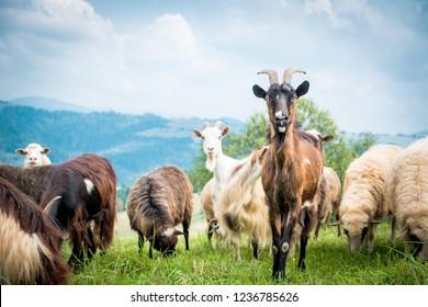 portrait of domestic goat