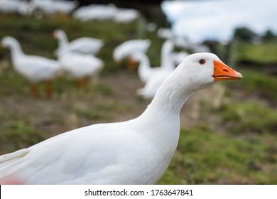 Portrait of Domestic goose, Anser cygnoides domesticus, in profile on bright green blured background. Domesticated grey goose, greylag goose or white goose portrait
