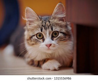 Portrait of a domestic multi-colored kitten sits on a floor.