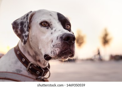 Portrait of domestic Pointer mixed with Dalmatian dog. Concept of adopting pets