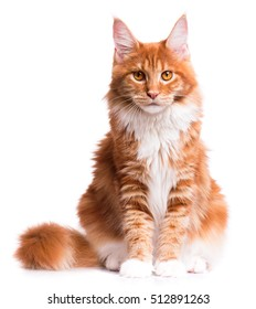 Portrait of domestic red Maine Coon kitten - 8 months old. Cute young cat sitting in front and looking at camera. Curious young orange striped kitty isolated on white background.