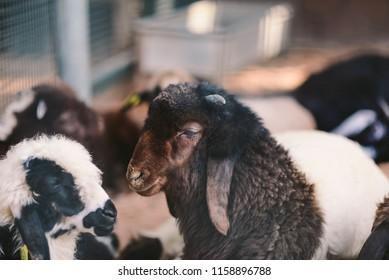 Portrait for Domestic sheep which is a quadrupedal, ruminant mammal typically kept as livestock. Like most ruminants, sheep are members of the order Artiodactyla, the even-toed ungulates.