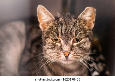 portrait of a domestic shorthair cat with the ear cropped and positive to feline coronavirus infection, feline immunodeficiency virus infection and renal failure
