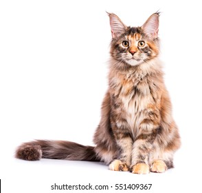 Portrait of domestic tortoiseshell Maine Coon kitten. Fluffy kitty isolated on white background. Cute young cat looking at camera.