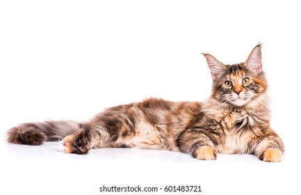 Portrait of domestic tortoiseshell Maine Coon kitten. Fluffy kitty isolated on white background. Adorable curious young cat lying down and looking at camera.