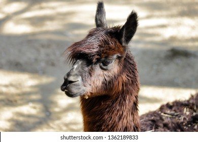 Portrait of  domesticated Alpaca (Vicugna pacos) species of South American camelid. Photography of nature and wildlife.